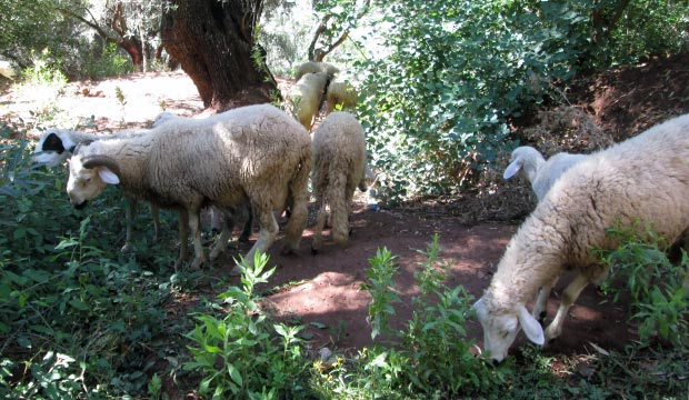 At the Ouzoud waterfalls in Marrakech it is very common to see locals grazing