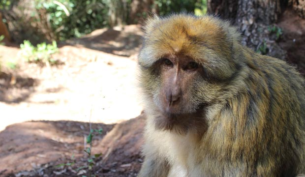 In the Ouzoud Falls in Morocco the presence of monkeys is very high