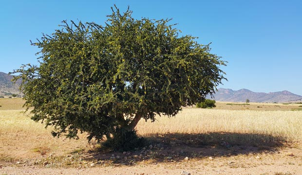 Argan tree or argania espinosa is the tree that is used to make argan oil products