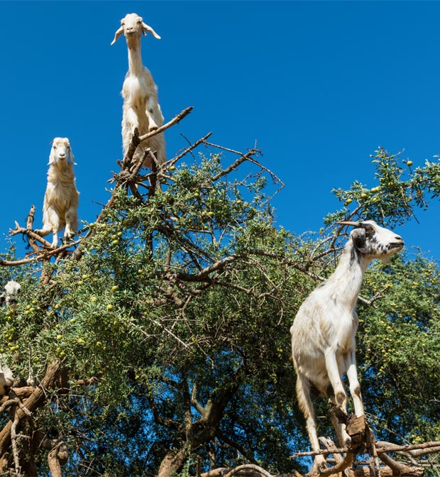 Average Moroccan says that the goats climb up onto the argan tree and eat the fruits from the argan oil from Morocco